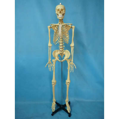 ENVIRONMENTAL PVC MATERIAL MEDICINE TEACHING HUMAN BONES SKELETON 170CM TRANSPARENT HUMAN SKELETON STERNUM -GASEN-RZGL051