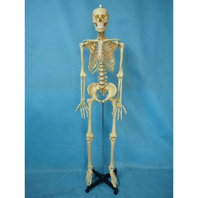 ENVIRONMENTAL PVC MATERIAL MEDICINE TEACHING HUMAN BONES SKELETON 170CM TRANSPARENT HUMAN SKELETON STERNUM -GASEN-RZGL051