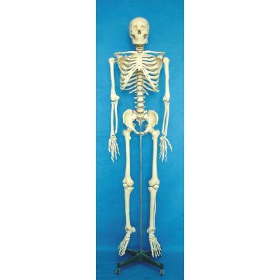 ENVIRONMENTAL PVC MATERIAL MEDICINE TEACHING HUMAN BONES SKELETON 170CM HUMAN SKELETON -GASEN-RZGL052