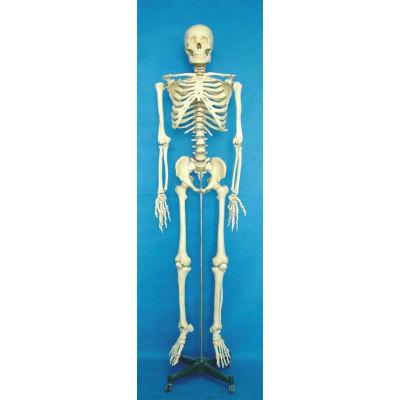 ENVIRONMENTAL PVC MATERIAL MEDICINE TEACHING HUMAN BONES SKELETON 170CM HUMAN SKELETON -GASEN-RZGL052