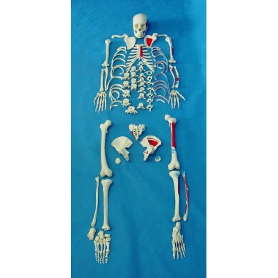 ENVIRONMENTAL PVC MATERIAL MEDICINE TEACHING HUMAN BONES SKELETON 170 Videos dispersion bone -GASEN-RZGL067