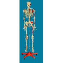 ENVIRONMENTAL PVC MATERIAL MEDICAL TEACHING HUMAN SKELETON MODEL BONE SURGERY PRACTICE 168CM TRANSPARENT COLOR STERNUM LEFT SIDE MUSCLE SIT RIGHT HALF OF LIGAMENT -GASEN-RZGL070