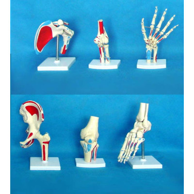 SIX  JOINT W/MUSCLE LIGAMENTA PAINTED ENVIRONMENTAL PVC MATERIAL MEDICAL TEACHING HUMAN SKELETON MODEL BONE SURGERY PRACTICE 6 LARGE JOINTS MUSCLES START-STOP PERFORMANCE -GASEN-RZGL017