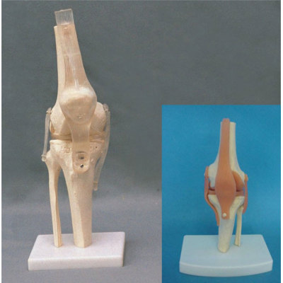 ADULT KNEE JOINT FUNCTIONAL MODEL ENVIRONMENTAL PVC MATERIAL MEDICAL TEACHING HUMAN SKELETON MODEL BONE SURGERY PRACTICE NATURAL BIG KNEE (TRANSPARENT LIGAMENT) -GASEN-RZGL002