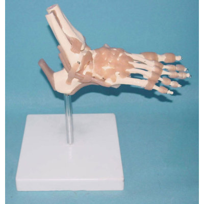ADVANCED BIG RIGHT FOOT JOINT FUNCTIONAL MODEL WEST TYPE ENVIRONMENTAL PVC MATERIAL MEDICAL TEACHING HUMAN SKELETON MODEL BONE SURGERY PRACTICE NATURAL BIGFOOT JOINT BROWNISH LIGAMENT -GASEN-RZGL007