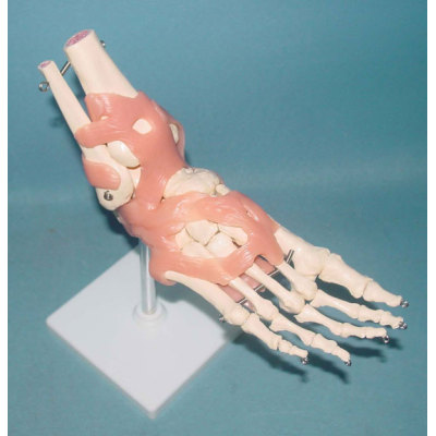 BIG LEFT FOOT JOINT FUNCTIONAL MODEL ENVIRONMENTAL PVC MATERIAL MEDICAL TEACHING HUMAN SKELETON MODEL BONE SURGERY PRACTICE NATURAL BIGFOOT JOINT PINKISH LIGAMENT -GASEN-RZGL008