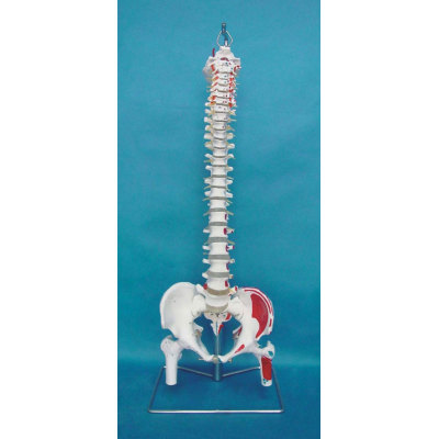 ENVIRONMENTAL PVC MATERIAL MEDICAL TEACHING HUMAN SKELETON MODEL BONE SURGERY PRACTICE NATURAL LARGE SPINE BEGINNING AND ENDING WITH MUSCLE PERFORMANCE -GASEN-RZ GL027