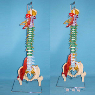 ENVIRONMENTAL PVC MATERIAL MEDICAL TEACHING HUMAN SKELETON MODEL BONE SURGERY PRACTICE NATURAL LARGE MULTI-FUNCTIONAL INTEGRATED SOFT SPINE DEMONSTRATE -GASEN-RZGL030