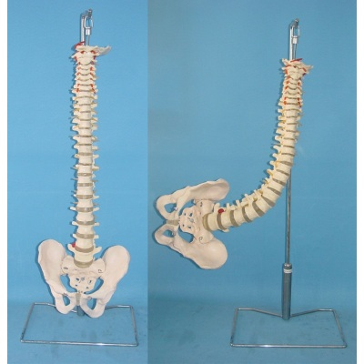 ENVIRONMENTAL PVC MATERIAL MEDICAL TEACHING HUMAN SKELETON MODEL BONE SURGERY PRACTICE LARGE SOFT SPINE WITH PELVIS GASEN-RZGL063