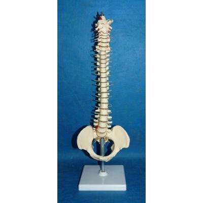 ENVIRONMENTAL PVC MATERIAL MEDICAL TEACHING HUMAN SKELETON MODEL BONE SURGERY PRACTICE MEDIUM SPINE -GASEN-RZGL062