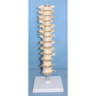 ENVIRONMENTAL PVC MATERIAL MEDICAL TEACHING HUMAN SKELETON MODEL BONE SURGERY PRACTICE NATURAL BIG BAND THORACIC DISC AND NERVE -GASEN-RZGL024