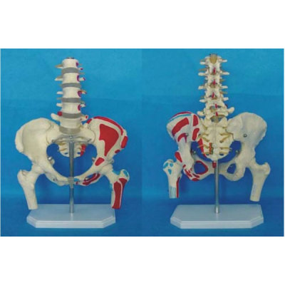 PELVIS LUMBAR VERTEBRA ENVIRONMENTAL PVC MATERIAL MEDICAL TEACHING HUMAN SKELETON MODEL BONE SURGERY PRACTICE SECTION FIVE LUMBAR SPINE AND PELVIS ATTACHED HALF LEG AND LEFT -GASEN-RZGL018