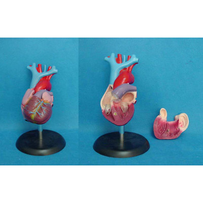 MEDICAL ANATOMICAL TORSO ANATOMICAL MODEL STRUCTURE HUMAN ORGAN SYSTEM  INTERNAL ORGANS  ADULT NATURAL HEART -GASEN-RZJP010