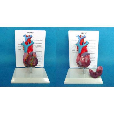 ENVIRONMENTAL PVC MATERIAL MEDICAL ANATOMICAL TORSO ANATOMICAL MODEL STRUCTURE HUMAN ORGAN SYSTEM INTERNAL ORGANS DESKTOP HEART DEMONSTRATION MODEL WITH DESCRIPTIVE VERSION -GASEN-RZJP002