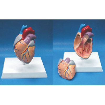 ENVIRONMENTAL PVC MATERIAL MEDICAL ANATOMICAL TORSO ANATOMICAL MODEL STRUCTURE HUMAN ORGAN SYSTEM INTERNAL ORGANS DESKTOP HEART DEMONSTRATION MODEL -GASEN-RZJP003