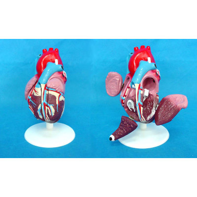 ENVIRONMENTAL PVC MATERIAL MEDICAL ANATOMICAL TORSO ANATOMICAL MODEL STRUCTURE HUMAN ORGAN SYSTEM INTERNAL ORGANS HEART MEDIUM DEMO MODEL (6) -GASEN-RZJP006