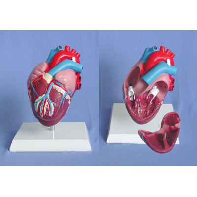 ENVIRONMENTAL PVC MATERIAL MEDICAL ANATOMICAL TORSO ANATOMICAL MODEL STRUCTURE HUMAN ORGAN SYSTEM INTERNAL ORGANS HEART MEDIUM DEMONSTRATION MODEL -GASEN-RZJP005