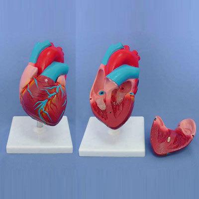 ENVIRONMENTAL PVC MATERIAL MEDICAL ANATOMICAL TORSO ANATOMICAL MODEL STRUCTURE HUMAN ORGAN SYSTEM INTERNAL ORGANS SMALL HEART -GASEN-RZJP007
