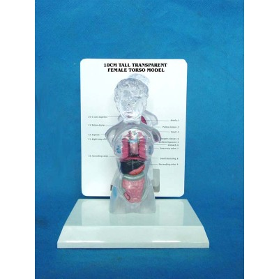 ENVIRONMENTAL PVC MATERIAL MEDICAL ANATOMICAL TORSO ANATOMICAL MODEL STRUCTURE HUMAN ORGAN SYSTEM INTERNAL ORGANS 18CM TRANSPARENT TORSO WITH ORGANS (10) -GASEN-RZJP025
