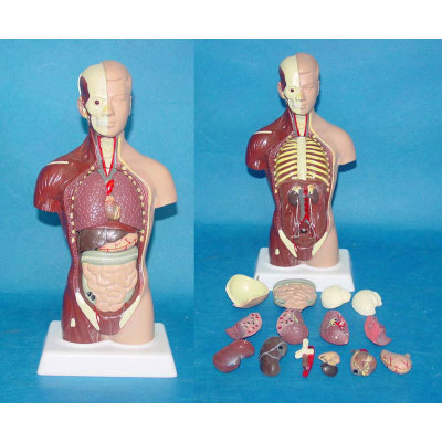 ENVIRONMENTAL PVC MATERIAL MEDICAL ANATOMICAL TORSO ANATOMICAL MODEL STRUCTURE HUMAN ORGAN SYSTEM INTERNAL ORGANS 28CM SOUTH AMERICAN SEMI-LEATHER HALF MUSCULAR TORSO -GASEN-RZJP024