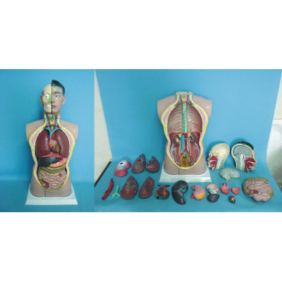 ENVIRONMENTAL PVC MATERIAL MEDICAL ANATOMICAL TORSO ANATOMICAL MODEL STRUCTURE HUMAN ORGAN SYSTEM INTERNAL ORGANS 85CM ASEXUAL TORSO -GASEN-RZJP013