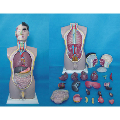 ENVIRONMENTAL PVC MATERIAL MEDICAL ANATOMICAL TORSO ANATOMICAL MODEL STRUCTURE HUMAN ORGAN SYSTEM INTERNAL ORGANS 85CM MALE TORSO -GASEN-RZJP014