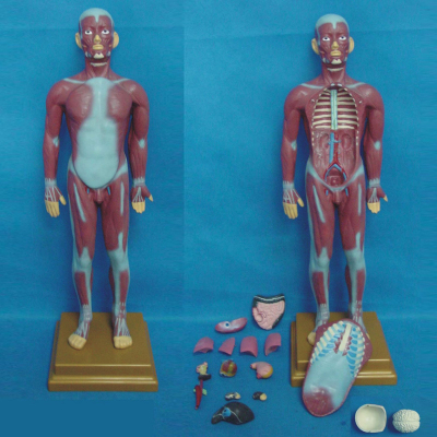 ENVIRONMENTAL PVC MATERIAL MEDICAL ANATOMICAL TORSO ANATOMICAL MODEL STRUCTURE HUMAN ORGAN SYSTEM INTERNAL ORGANS 85CM MUSCULAR MAN WITH INTERNAL ORGANS -GASEN-RZJP015