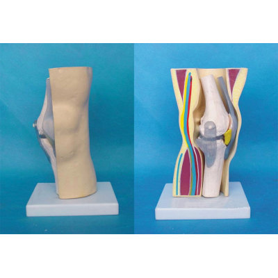 ENVIRONMENTAL PVC MATERIAL MEDICAL ANATOMICAL TORSO ANATOMICAL MODEL STRUCTURE HUMAN ORGAN SYSTEM INTERNAL ORGANS ADULT KNEE FUNCTION MODEL -GASEN-RZJP037