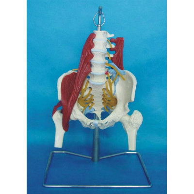 ENVIRONMENTAL PVC MATERIAL MEDICAL ANATOMICAL TORSO ANATOMICAL MODEL STRUCTURE HUMAN ORGAN SYSTEM INTERNAL ORGANS GREAT PELVIS WITH NEUROMUSCULAR AND MORBID -GASEN-RZJP027