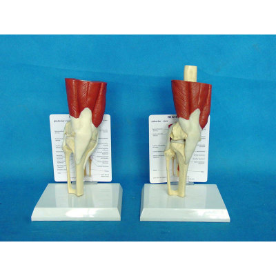 ENVIRONMENTAL PVC MATERIAL MEDICAL ANATOMICAL TORSO ANATOMICAL MODEL STRUCTURE HUMAN ORGAN SYSTEM INTERNAL ORGANS MODELS WITH KNEE MUSCLE MODEL -GASEN-RZJP030