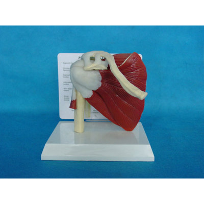 ENVIRONMENTAL PVC MATERIAL MEDICAL ANATOMICAL TORSO ANATOMICAL MODEL STRUCTURE HUMAN ORGAN SYSTEM INTERNAL ORGANS SHOULDER GIRDLE MUSCLES MODEL -GASEN-RZJP036