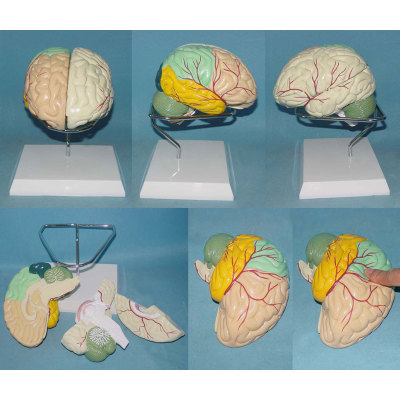 ENVIRONMENTAL PVC MATERIAL MEDICAL ANATOMICAL TORSO ANATOMICAL MODEL STRUCTURE HUMAN ORGAN SYSTEM INTERNAL ORGANS COLOR THREE BRAIN -GASEN-RZJP067