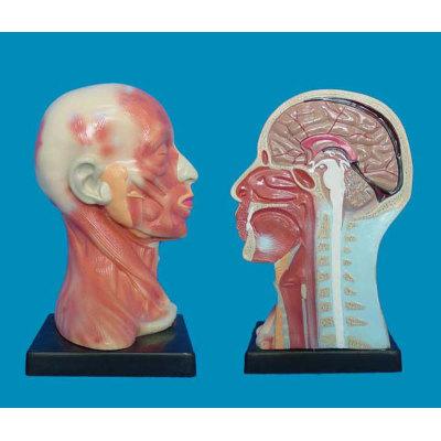 ENVIRONMENTAL PVC MATERIAL MEDICAL ANATOMICAL TORSO ANATOMICAL MODEL STRUCTURE HUMAN ORGAN SYSTEM INTERNAL ORGANS HUMAN HEAD. NECK. SURFACE ANATOMY OF MODEL -GASEN-RZJP055