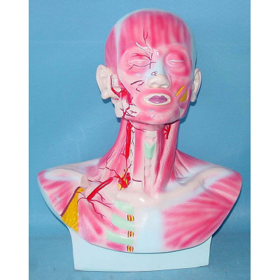 ENVIRONMENTAL PVC MATERIAL MEDICAL ANATOMICAL TORSO ANATOMICAL MODEL STRUCTURE HUMAN ORGAN SYSTEM INTERNAL ORGANS MUSCLE, BLOOD VESSELS AND NERVES OF HUMAN HEAD PERFORMANCE -GASEN-RZJP054