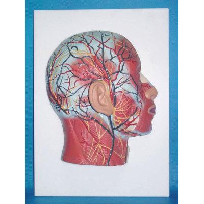 ENVIRONMENTAL PVC MATERIAL MEDICAL ANATOMICAL TORSO ANATOMICAL MODEL STRUCTURE HUMAN ORGAN SYSTEM INTERNAL ORGANS SUPERFICIAL MUSCLE HUMAN HEAD, FACE, NECK GOD -GASEN-RZJP056