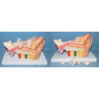 ENVIRONMENTAL PVC MATERIAL MEDICAL ANATOMICAL TORSO ANATOMICAL MODEL STRUCTURE HUMAN ORGAN SYSTEM INTERNAL ORGANS 4 MEDIUM-SIZED WESTERN EAR -GASEN-RZJP077