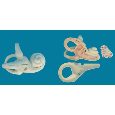 ENVIRONMENTAL PVC MATERIAL MEDICAL ANATOMICAL TORSO ANATOMICAL MODEL STRUCTURE HUMAN ORGAN SYSTEM INTERNAL ORGANS INNER EAR ANATOMY ZOOM -GASEN-RZJP083