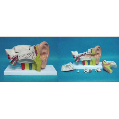 ENVIRONMENTAL PVC MATERIAL MEDICAL ANATOMICAL TORSO ANATOMICAL MODEL STRUCTURE HUMAN ORGAN SYSTEM INTERNAL ORGANS LARGE EAR ANATOMY 6 -GASEN-RZJP086