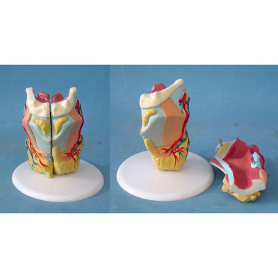 ENVIRONMENTAL PVC MATERIAL MEDICAL ANATOMICAL TORSO ANATOMICAL MODEL STRUCTURE HUMAN ORGAN SYSTEM INTERNAL ORGANS LARGE THROAT -GASEN-RZJP075