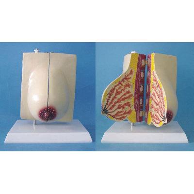 ENVIRONMENTAL PVC MATERIAL MEDICAL ANATOMICAL TORSO ANATOMICAL MODEL STRUCTURE HUMAN ORGAN SYSTEM INTERNAL ORGANS ALREADY PREGNANT BREAST -GASEN-RZRF001