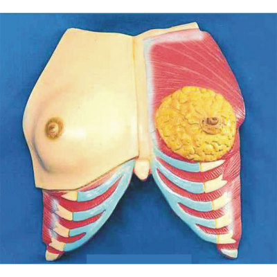 ENVIRONMENTAL PVC MATERIAL MEDICAL ANATOMICAL TORSO ANATOMICAL MODEL STRUCTURE HUMAN ORGAN SYSTEM INTERNAL ORGANS ANATOMICAL BREAST WITH RIBS AND SUPERFICIAL MUSCLE -GASEN-RZRF005