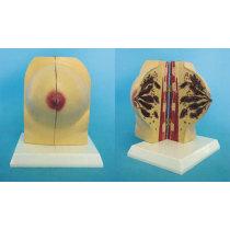 ENVIRONMENTAL PVC MATERIAL MEDICAL ANATOMICAL TORSO ANATOMICAL MODEL STRUCTURE HUMAN ORGAN SYSTEM INTERNAL ORGANS NONPREGNANT BREAST -GASEN-RZRF002