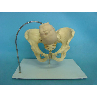 ENVIRONMENTAL PVC MATERIAL MEDICAL ANATOMICAL TORSO ANATOMICAL MODEL STRUCTURE HUMAN ORGAN SYSTEM INTERNAL ORGANS BABY SKULL FEMALE PELVIS DEMONSTRATION MODEL -GASEN-RZRTHL001