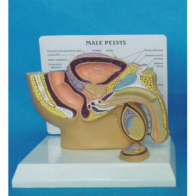 ENVIRONMENTAL PVC MATERIAL HUMAN REPRODUCTIVE SYSTEM MODEL HUMAN REPRODUCTIVE SYSTEM MODEL MEDICAL ANATOMICAL MALE CELIAC -GASEN-RZMN013