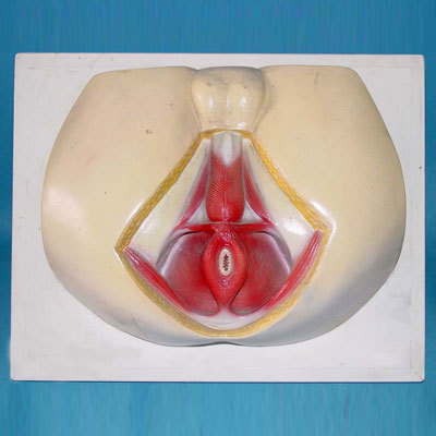 ENVIRONMENTAL PVC MATERIAL HUMAN REPRODUCTIVE SYSTEM MODEL HUMAN REPRODUCTIVE SYSTEM MODEL MEDICAL ANATOMICAL MALE PERINEUM AND SUPERFICIAL MUSCLE PERFORMANCE MODEL -GASEN-RZMN021