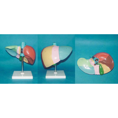 ENVIRONMENTAL PVC MATERIAL LIVER ANATOMICAL ORGAN ANATOMICAL MODEL MEDICAL ANATOMICAL COLOR CODING AND HUMAN LIVER SEGMENTS AND LOBES DIVIDED -GASEN-RZRTXH013