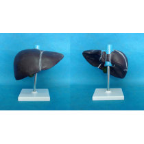 ENVIRONMENTAL PVC MATERIAL ORGAN ANATOMICAL MODEL OF HUMAN LIVER MEDICAL TEACHING LIVER -GASEN-RZRTXH015