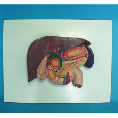 ENVIRONMENTAL PVC MATERIAL ORGAN ANATOMICAL MODEL OF HUMAN LIVER MEDICAL TEACHING GALLSTONES MODEL -GASEN-RZRTXH016