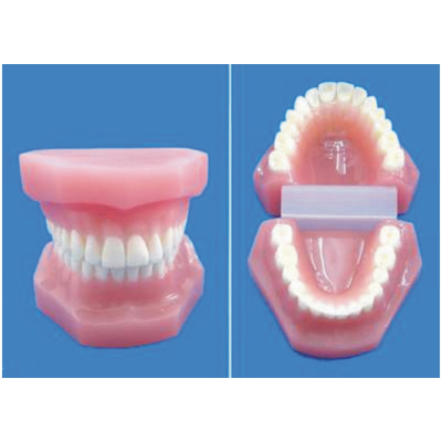 ENVIRONMENTAL PVC MATERIAL ORAL DENTAL TEACHING MODEL LARGE RESIN TEETH 28 TEETH -GASEN-RZKQ001