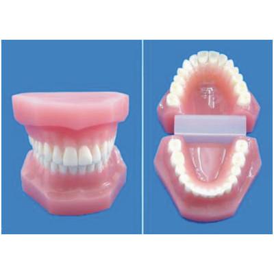 ENVIRONMENTAL PVC MATERIAL ORAL DENTAL TEACHING MODEL LARGE RESIN TEETH 28 TEETH -GASEN-RZKQ001